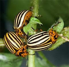 Юмор: Политика: Колорадский жук