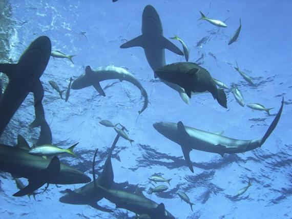 Интересное: Поймать акулу за хвост