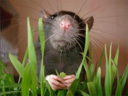 Юмор: Крыса