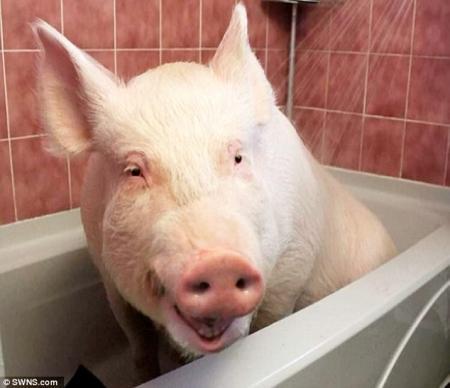 Животные: Домашняя свинья
