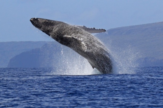 Животные: Синий кит