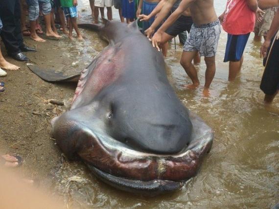 Животные: Пелагическая акула