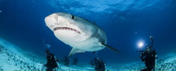 Животные: Акула