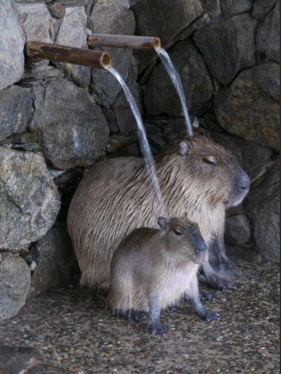 Животные: Капибара