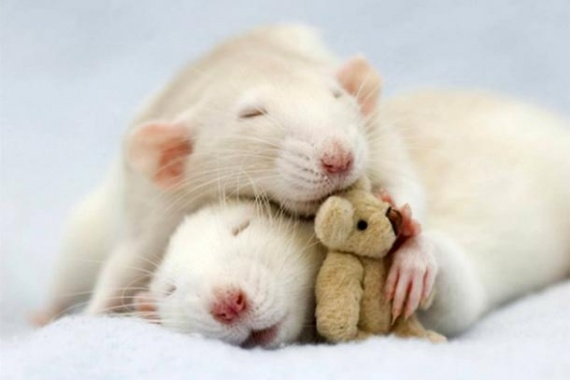 Животные: Крыса