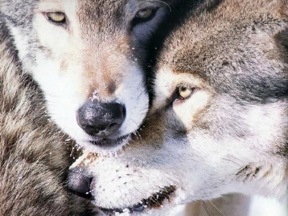 Животные: Факты о волках