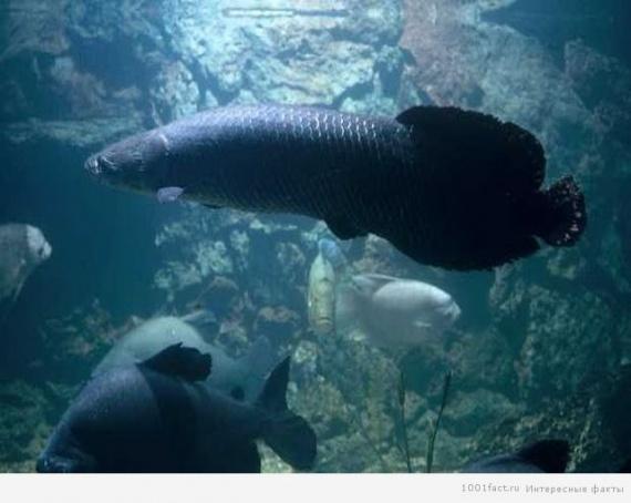 Животные: Рыба пираруку