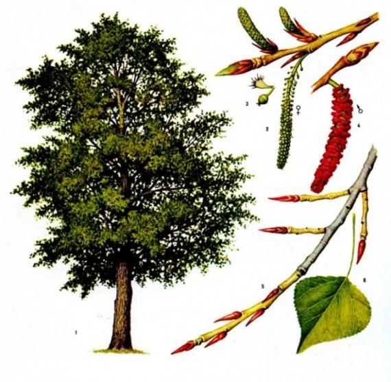 Природа: Тополиный пух