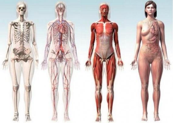 Интересное: Человеческое тело