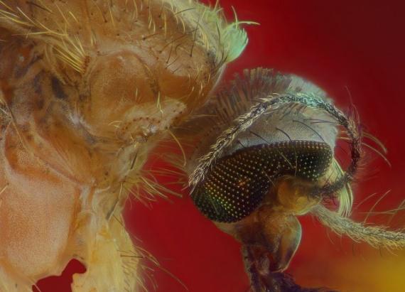 Интересное: Комар-кровопийца