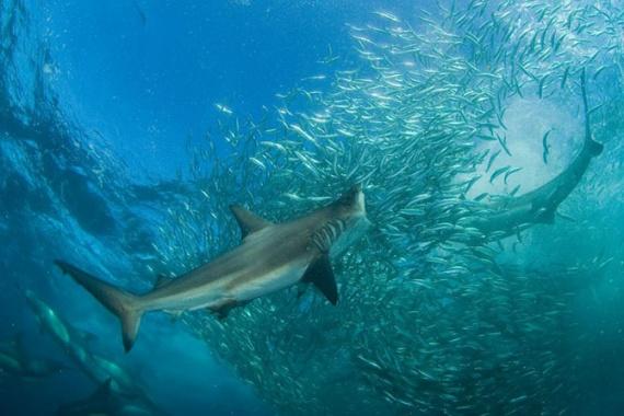 Животные: Акулы
