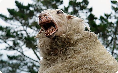 Общество: Злобные овцы