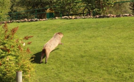 Животные: Свободу капибаре!:-)