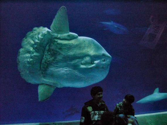 Интересное: Рыба-луна