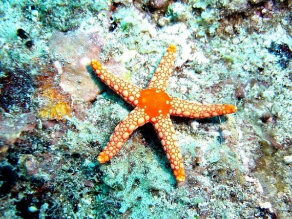 Животные: Морская звезда