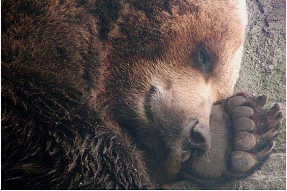 Животные: Как спит медведь