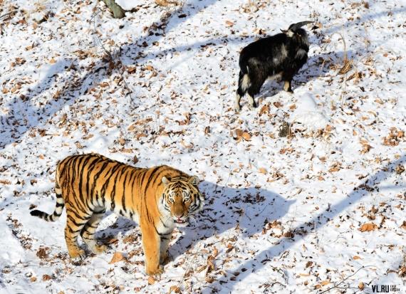Животные: Тимур и Амур