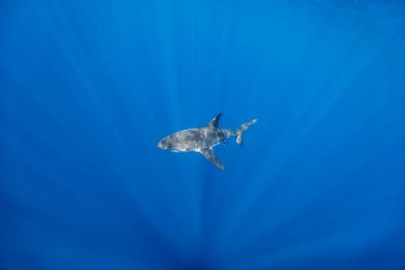 Животные: Большая белая акула