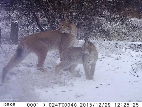 Животные: Дикий Чернобыль