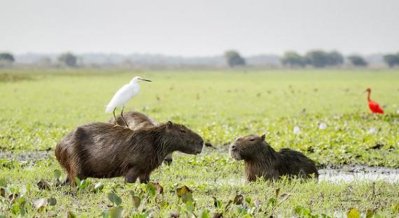 Животные: Милые капибары