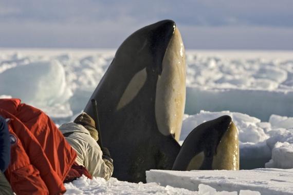 Животные: В Охотском море застряли четыре косатки