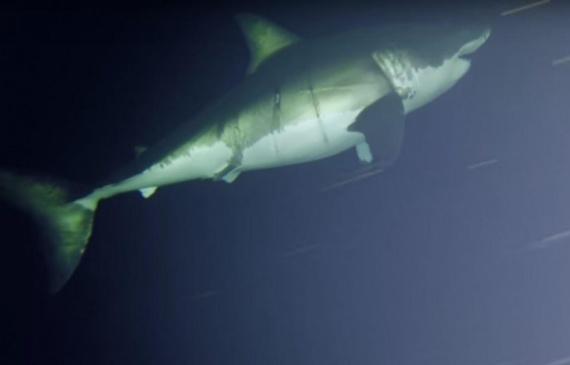Животные: Как спит акула