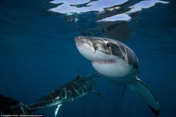 Животные: Самая большая белая акула в мире