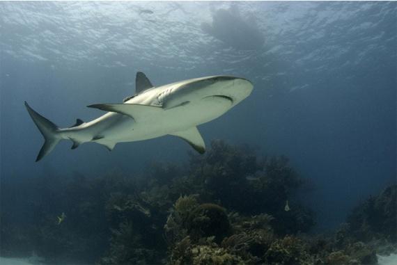 Интересное: Как размножаются акулы