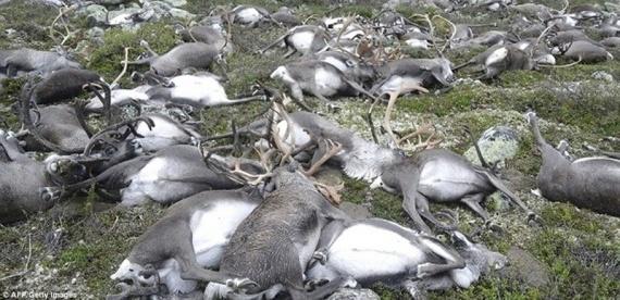 Проишествия: В Норвегии от удара молнии погибло более 300 оленей