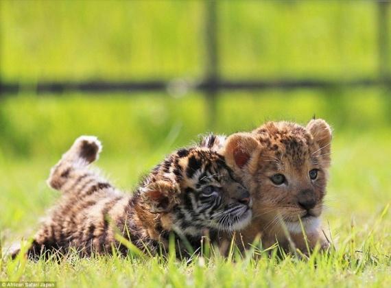 Животные: Дружба львенка и тигренка