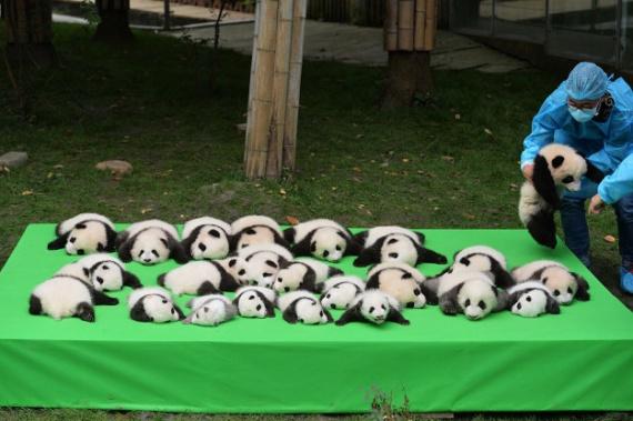 Животные: Маленькая панда упала во время презентации