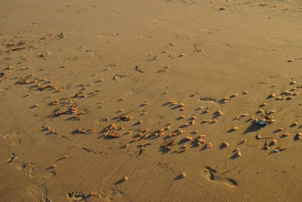 Интересное: Неведомая фигня на калифорнийских пляжах