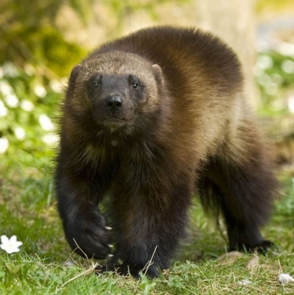 Животные: Настоящий хозяин леса