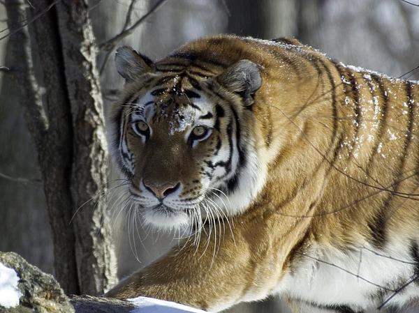 Животные: Амурский тигр