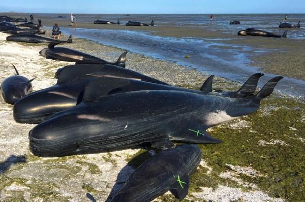 Животные: Почему дельфины и киты выбрасываются на берег?