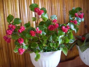 Природа: Бегония вечноцветущая: грамотный уход в домашних условиях