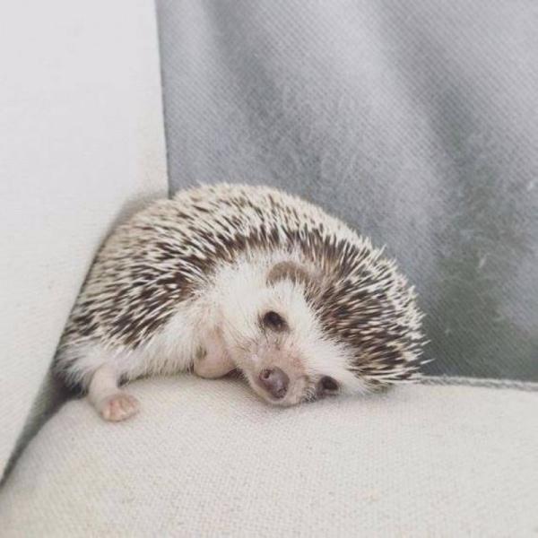 Животные: Ёжики