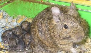 Животные: Забавные и милые животные: чилийская белка дегу, ежи, землеройки