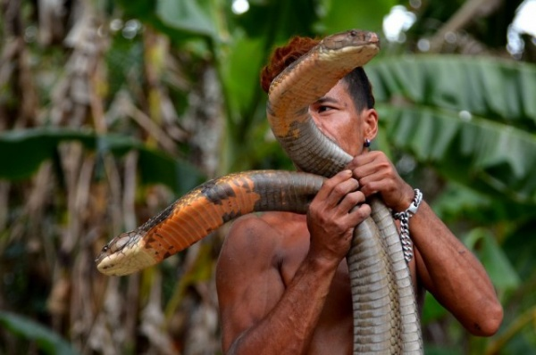 Природа: Заклинатель змей поймал две 4-метровые кобры и голыми руками удалил у них ядовитые зубы