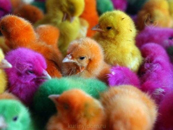 Интересное: Откуда берутся цветные цыплята?