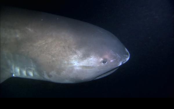 Интересное: Большеротая акула