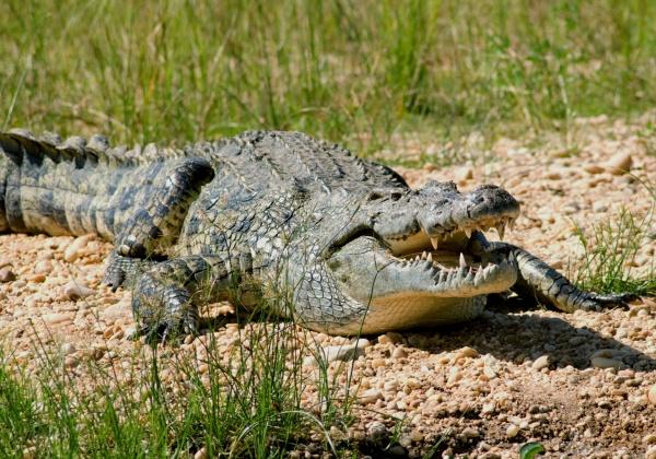 Животные: Крокодилы