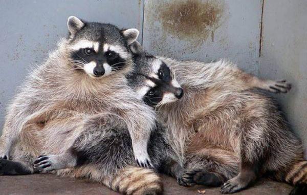 Животные: Еноты устроили вечеринку