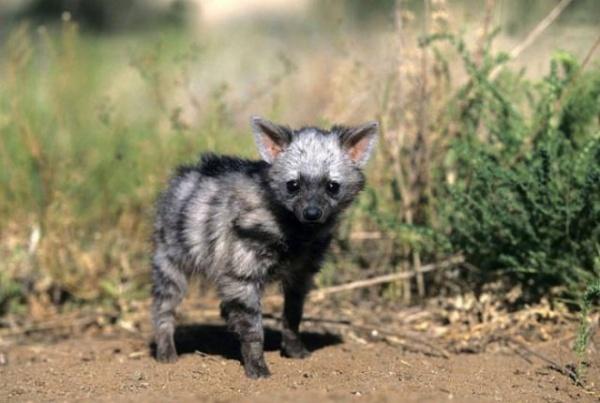 Животные: Земляной волк