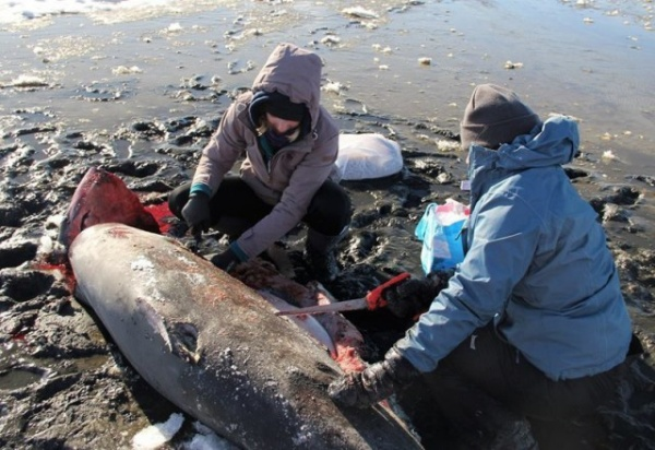 Природа: В США начали замерзать акулы