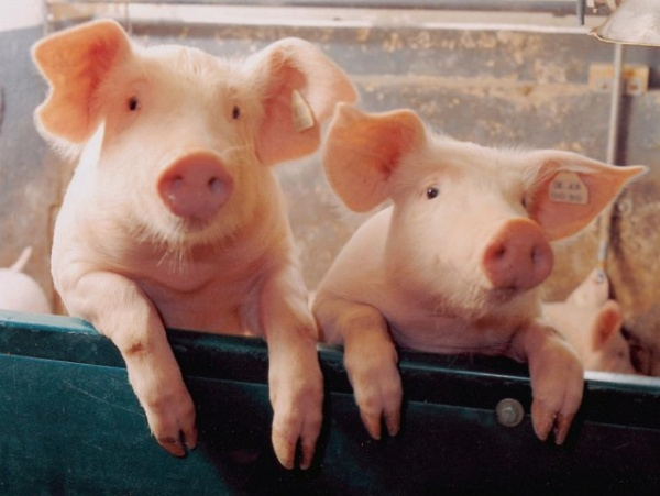 Интересное: Почему евреи и мусульмане не едят свинину?