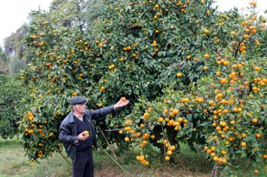 История: Как в Абхазии появились мандарины