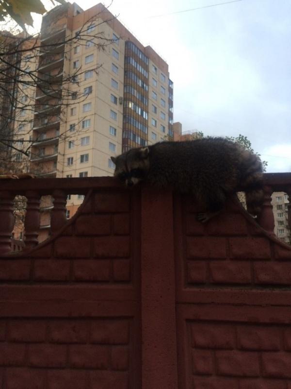 Животные: В Петербурге на ул. Звездной на заборе отдыхает енот