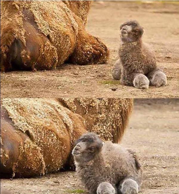 Животные: А вы видели верблюжонка?