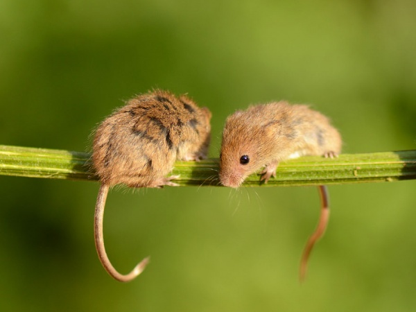 Животные: Мышкин мимиметр